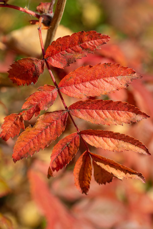 Photo for autumn tree ashberry bright colors of nature - Royalty Free Image