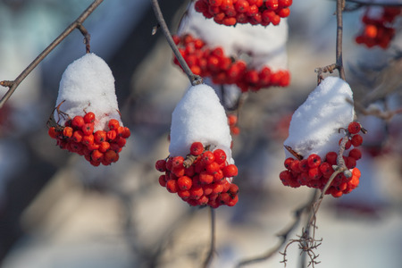 Photo for winter red mountain ash snow - Royalty Free Image