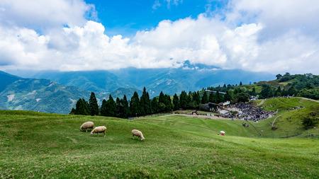Photo pour Qingqing farm sheep - image libre de droit