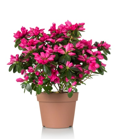 Photo pour Azalea flower is in the pot. Bright beautiful pink flowers isolated on white background - image libre de droit