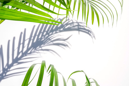 Photo for green palm leaf and shadow on a white background - Royalty Free Image