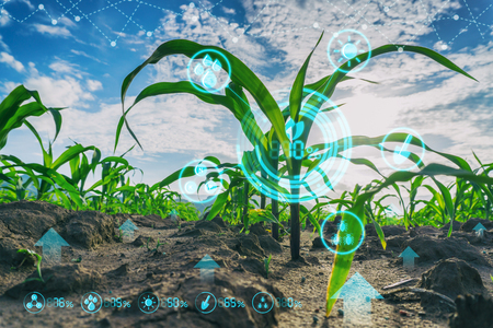 Foto de Growing young maize seedling in cultivated agricultural farm field with modern technology concepts - Imagen libre de derechos