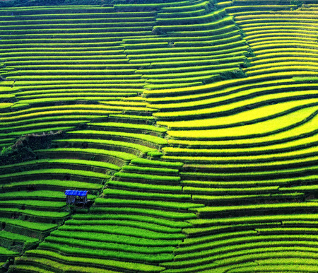 Photo for Rice fields on terraced of Sapa (Sa Pa), Vietnam. Rice fields prepared to harvest at Northwest Vietnam. - Royalty Free Image