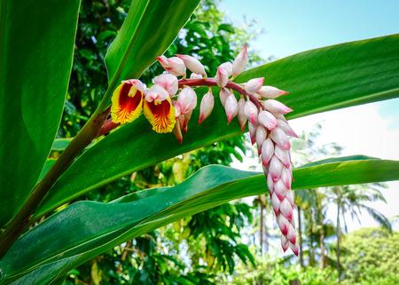 Photo pour Flower of Curcuma longa at the botanic garden in Highlands, Mauritius. - image libre de droit