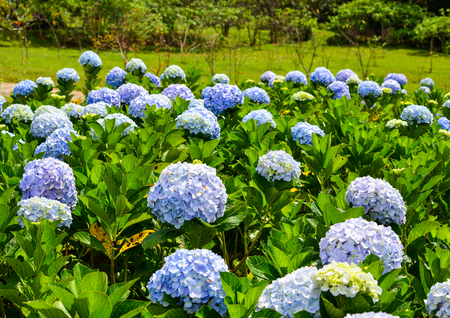 Photo for Hydrangea flowers (Hydrangea macrophylla) at sunny day in the city park of Dalat, Vietnam. - Royalty Free Image