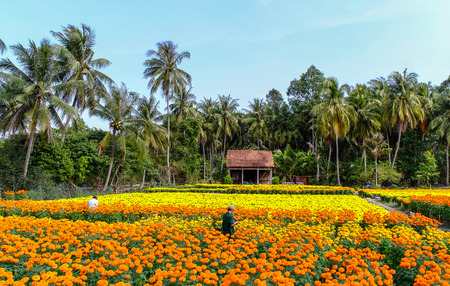 Photo for People working on flower field at spring time in Can Tho, Vietnam. - Royalty Free Image