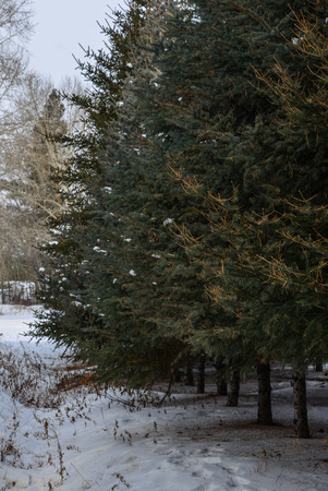 Foto de Pine tree forest at winter in Heilongjiang, Northern China. - Imagen libre de derechos