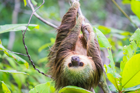 Photo pour Young Hoffmann's Sloth hanging from tree and looking into camera - image libre de droit