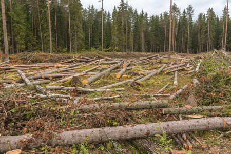 Foto de Is deforestation. Carvel pines lie on the plot. Timber harvesting in the coniferous forest. - Imagen libre de derechos