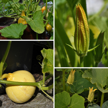 Collage cucurbit, leaf and flower in garden