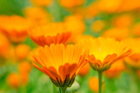Photo for Calendula flower close up on blurred background. The orange flower. A medicinal herb. - Royalty Free Image