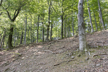 Photo for Unveiled beech roots on a slope in a forest. - Royalty Free Image