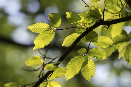 Photo for Fresh green leaves of beech. - Royalty Free Image