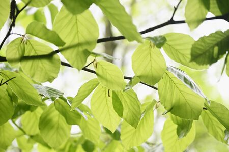 Photo for Lush green leaves of beech tree in forest. - Royalty Free Image