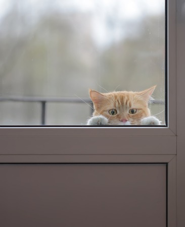 Photo for Red cat with a sad look outside the window wants to go home - Royalty Free Image