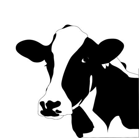 Portrait big black and white cow