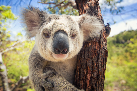 Photo for Koala - Royalty Free Image