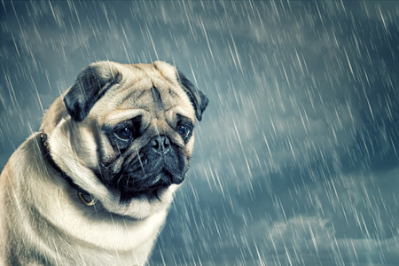 Photo pour Pug in the Rain - image libre de droit