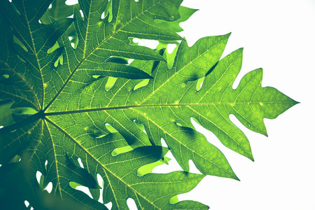 Photo for Natural background Banana leaf green. Bright, colorful leaves - Royalty Free Image