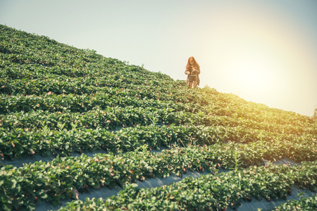 Foto de Background of strawberry plantation with female gardener - Imagen libre de derechos