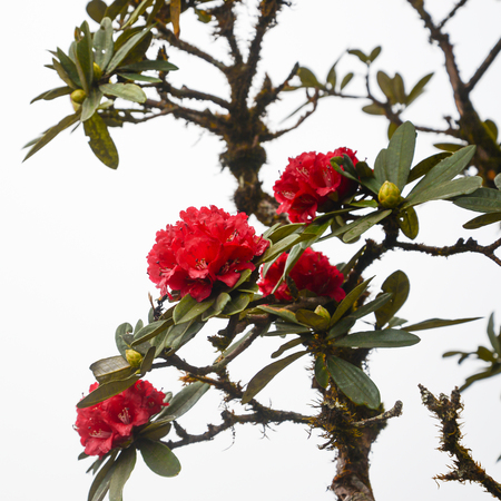 Photo pour Wallpaper background flowers Rhododendron Red flowers.thailand Tropical forests - image libre de droit