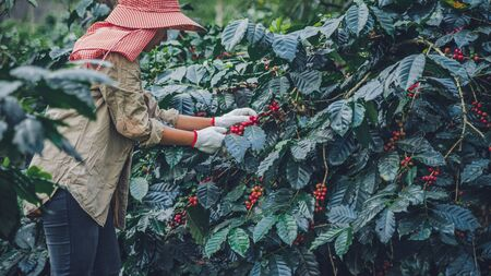 Foto de agriculture, coffee garden coffee tree with coffee beans, female workers are harvesting ripe red coffee beans. - Imagen libre de derechos
