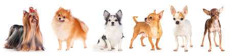 Six small dogs isolated on a white background