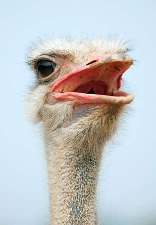 Ostrich head close up outdoors