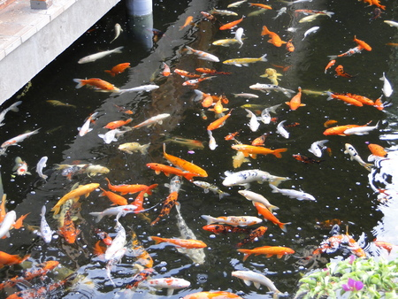 Photo pour Carps in the pond - image libre de droit