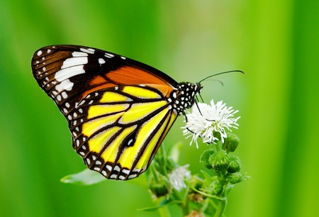 Foto de Colorful butterfly feeding on white flower - Imagen libre de derechos