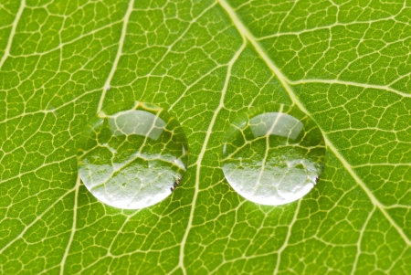 Photo for Two transparent drops on green leaf on white background, nature concept  - Royalty Free Image