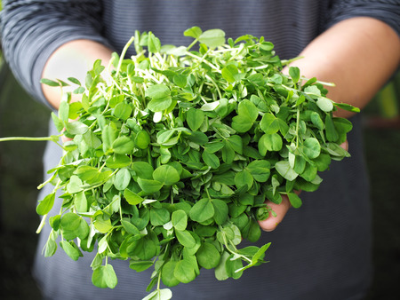 Photo for Fresh pea shoots held on man hands - Royalty Free Image