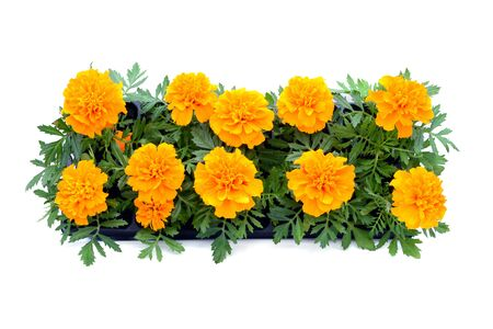 Photo pour Tagetes flower tray box on white isolated background. top view. - image libre de droit