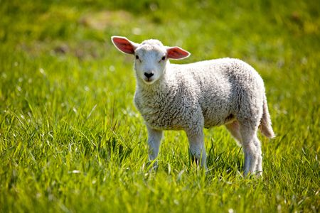 Photo pour A small lamb in a pasture of sheep looking curious at the camera - image libre de droit