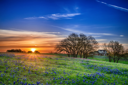 Photo pour Texas bluebonnet spring wildflower field at sunrise - image libre de droit