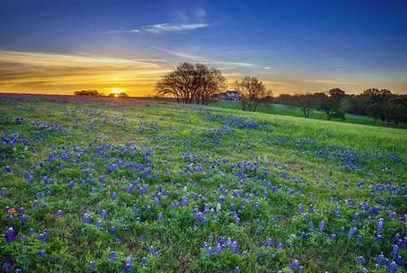 Foto de Texas bluebonnet spring wildflower field at sunrise - Imagen libre de derechos