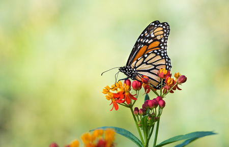 Photo pour Monarch butterfly (Danaus plexippus) feeding on tropical milkweed flowers in the fall. Natural green background with copy space. - image libre de droit