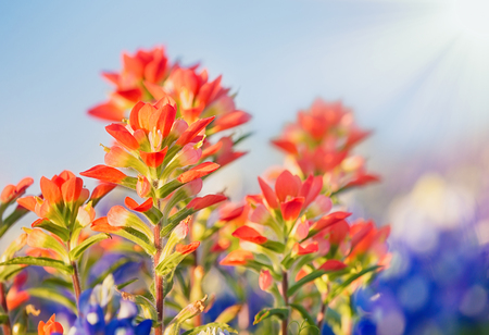 Photo for Close-up of Indian Paintbrush wildflowers. - Royalty Free Image