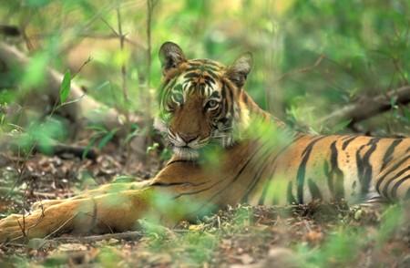 Bengal tiger ( Panthera tigris ) in national park of India