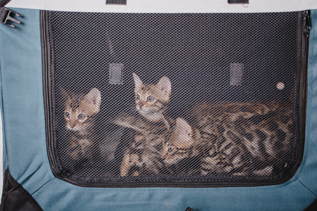 Foto für bengal cats babys leopard kitten - Lizenzfreies Bild