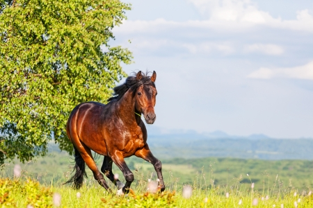 Photo for Bay horse skips on a meadow against mountains - Royalty Free Image