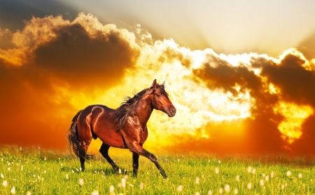 Photo for bay horse skips on a meadow against a sunset - Royalty Free Image