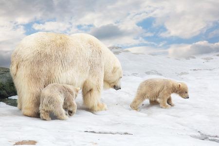 Photo pour white polar she-bear with two bear cubs goes on snow - image libre de droit