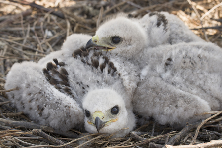 Photo pour chicks of the steppe eagle in the nest - image libre de droit