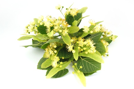 Photo for linden flowers isolated on white background - Royalty Free Image