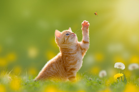 Foto de Young cat / kitten hunting a ladybug with Back Lit - Imagen libre de derechos