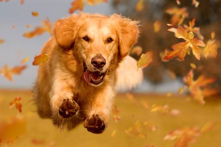 Photo pour Dog, golden retriever jumping through autumn leaves in autumnal sunlight - image libre de droit
