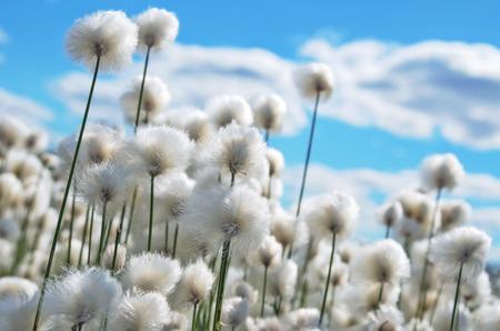 Foto de Flowering cotton grass on  background of blue sky - Imagen libre de derechos