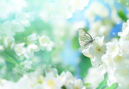 Photo for Natural background with butterfly on the branch of blooming jasmine. Spring scene. - Royalty Free Image