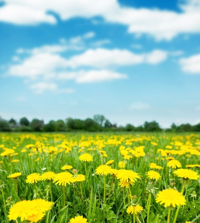 Photo for Spring field with dandelions on bright sunny day. - Royalty Free Image